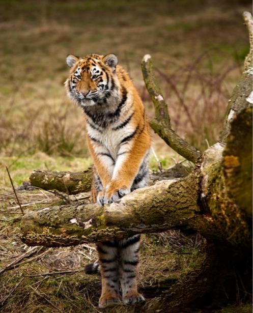Фотообои тигр и деоево (animals-0000170)