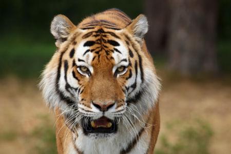 Фотообои тигр в природе (animals-0000175)