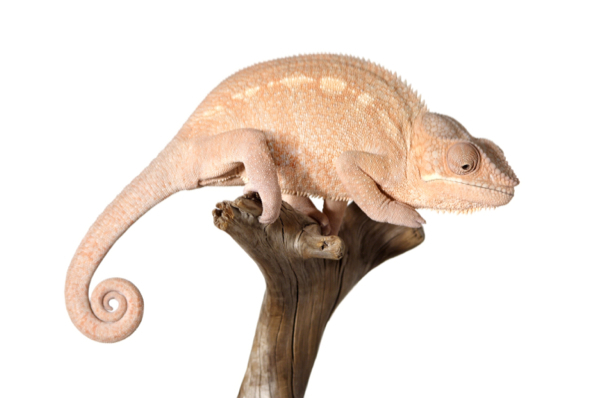 Фотообои розовый хамелеон (animals-0000274)