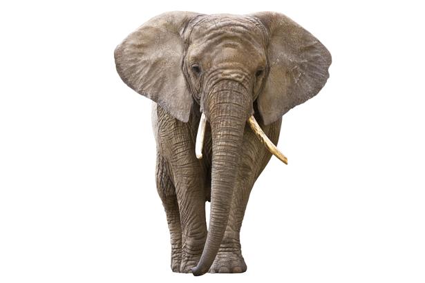 Фотообои белый фон слон (animals-0000351)