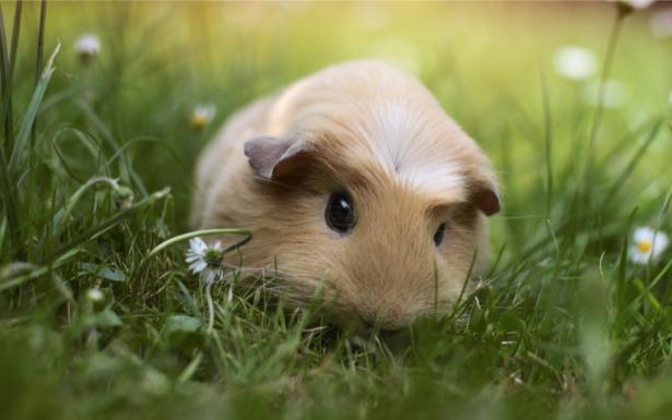 Фотообои морская свинка в траве (animals-0000363)