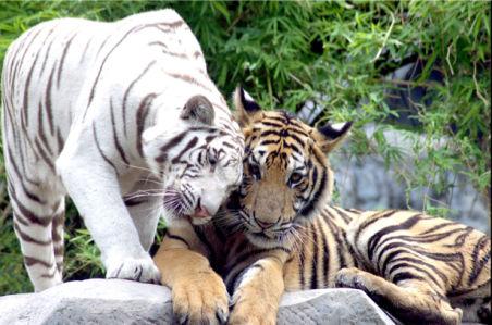 Фотообои тигр белый (animals-0000377)