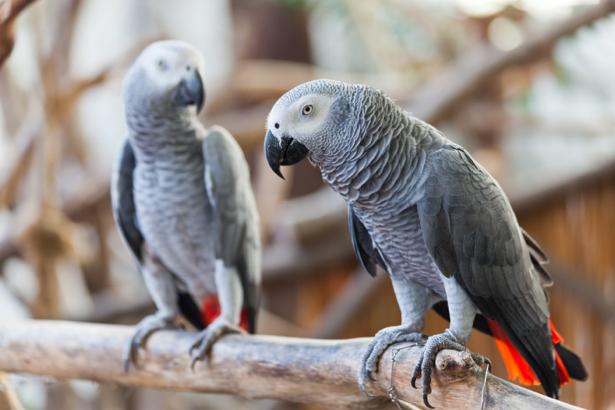 Фотообои серые попугаи (animals-0000410)