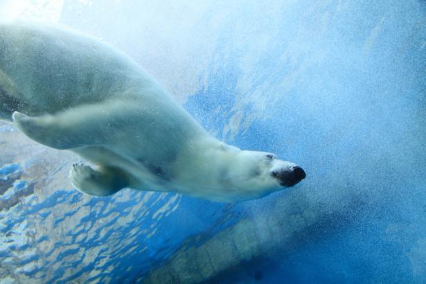Фотообои белый медведь под водой (animals-0000509)