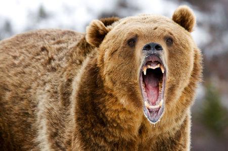 Фотообои Разъяренный медведь (animals-528)