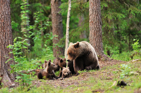 Фотообои Семейство медвежье (animals-531)