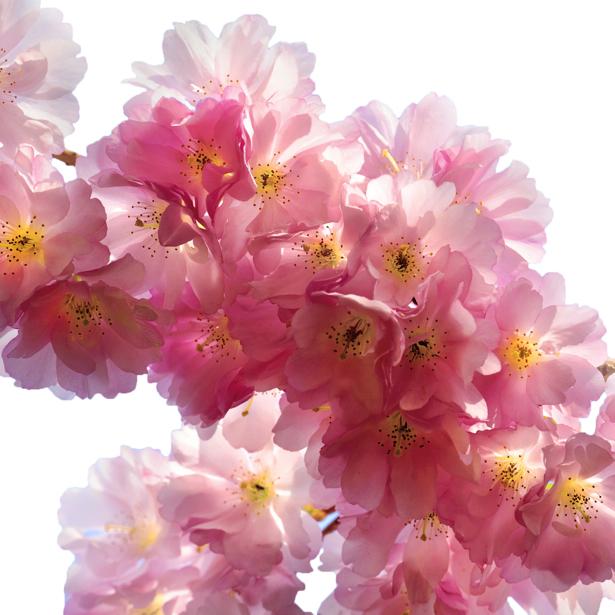 Фотообои цветов на стену Цветущая ветка (flowers-0000010)