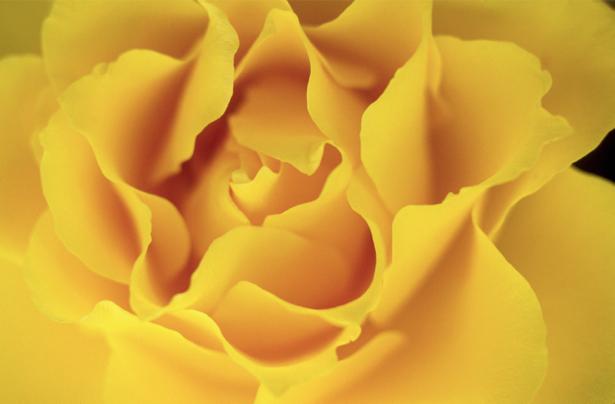Желтая роза обои на стену цветы (flowers-0000092)