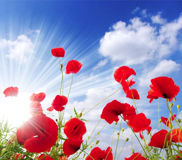 Обои фото цветы Полевые маки (flowers-0000150)