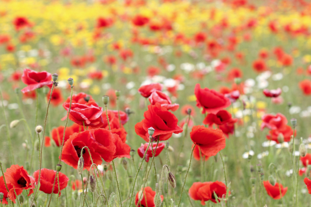 Фото обои Полевые маки (flowers-0000163)