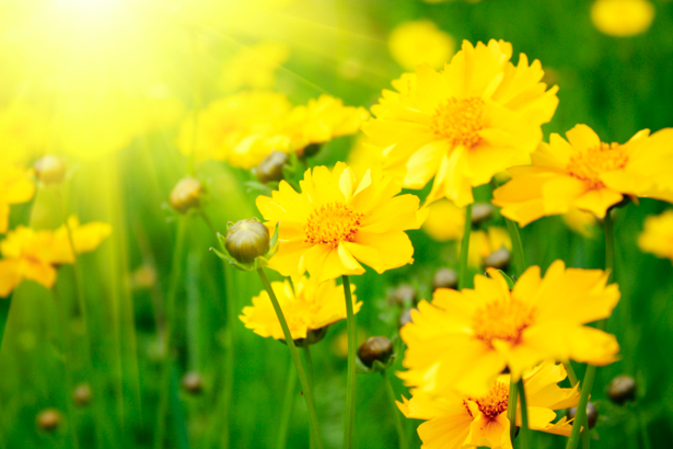 Фотообои цветов на стену Желтые цветы (flowers-0000223)