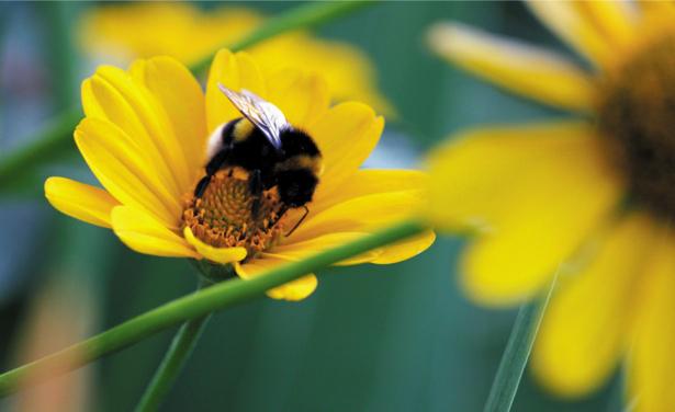 Фото обои Желтые цветы и шмель (flowers-0000344)