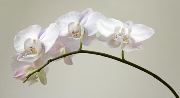 Фотообои в спальню орхидея (flowers-0000368)