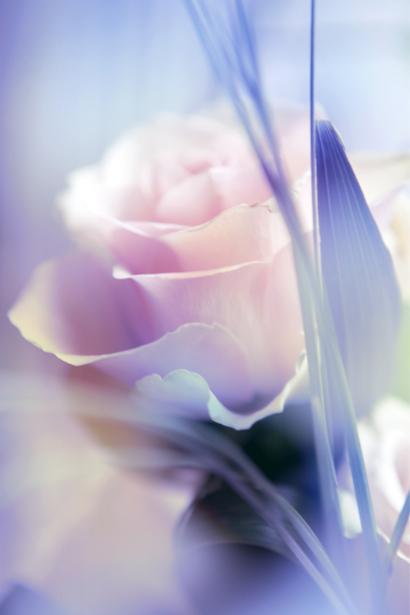 Фото обои цветок белая роза (flowers-0000530)