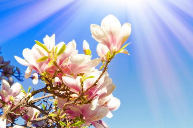 Фото обои для стен магнолия (flowers-0000625)