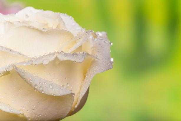 Фото обои обои на стену белая роза (flowers-0000657)