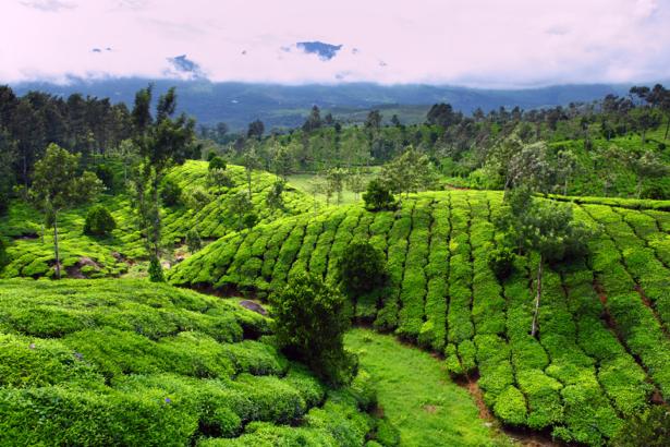 Фотообои чайное поле ферма (nature-0000641)
