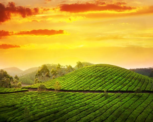 Фотообои чайное поле (nature-0000643)