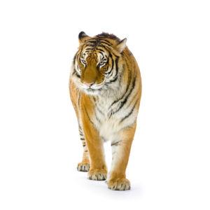 Фотообои тигр на белом фоне (animals-0000252)