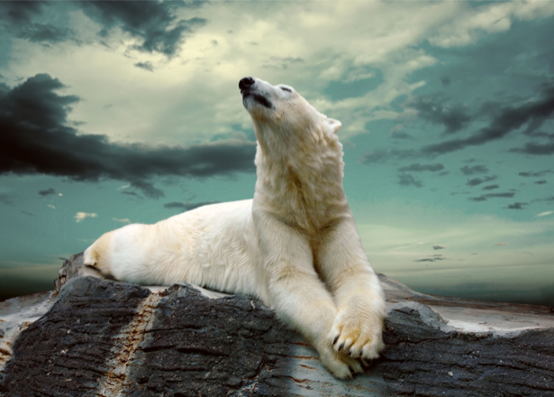 Фотообои белый медведь на камнях (animals-0000264)