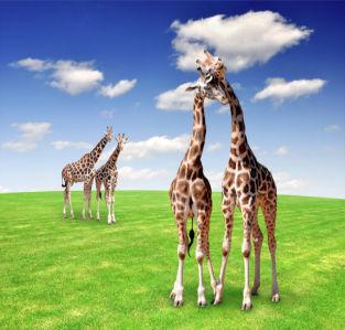 Фотообои жираф пара (animals-0000354)