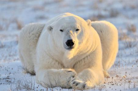 Фотообои белый медведь портрт (animals-0000502)