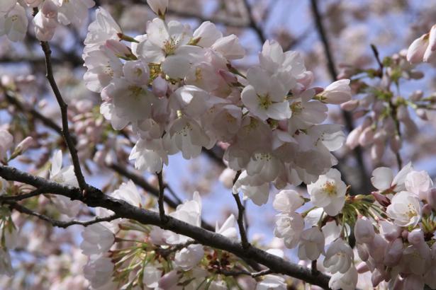 Фото обои цветы Цветущая ветка (flowers-0000020)