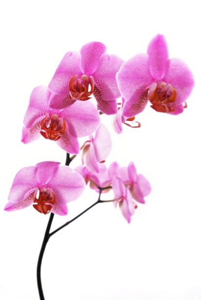 Розовая орхидея фотообои на стену цветы (flowers-0000032)