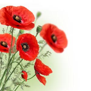 Фото обои на стену букет маков (flowers-0000429)