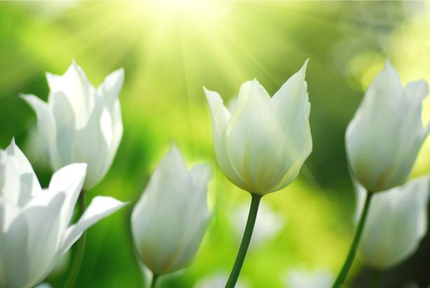 Обои фото цветы белые тюльпаны (flowers-0000445)