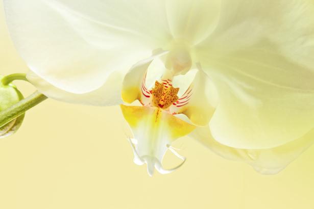 Фото обои цветок белая орхидея (flowers-0000451)