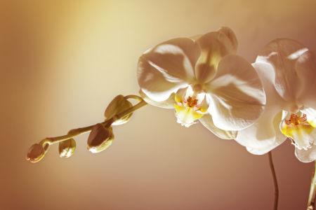 Обои на стену Ветка белой орхидеи (flowers-0000453)