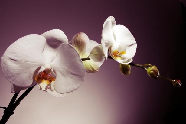 Фото обои на стену ветка белой орхидеи (flowers-0000457)