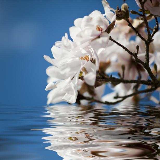 Фото обои цветок цветущая ветка магнолии (flowers-0000489)