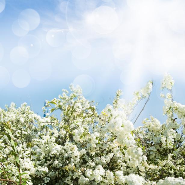 Цветочные фото обои цветущее дерево (flowers-0000637)