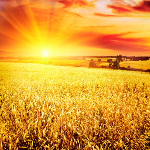 Фотообои с природой поле пшеницы (nature-00131)