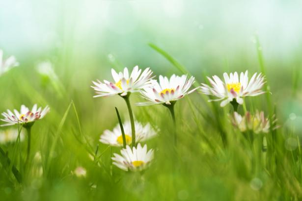 Фотообои маргаритки в поле (nature-00571)