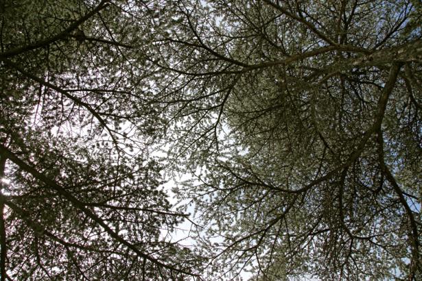 Фотообои деревья снизу крона (nature-00619)