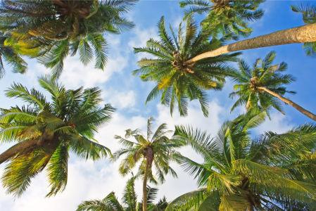 Обои для потолка под пальмами (ov-24)