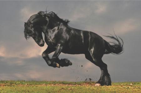 Фотообои черный конь (animals-0000071)