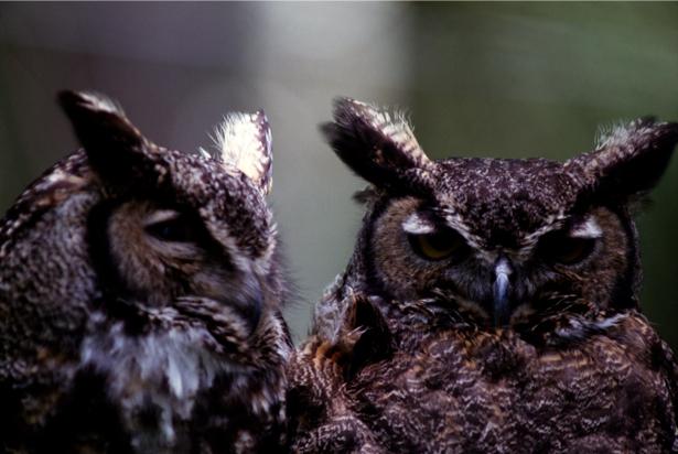 Фотообои сова и филин (animals-0000080)