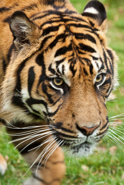 Фотообои тигр глолова (animals-0000094)