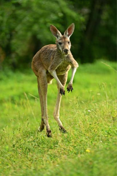 Фотообои кенгуру в поле (animals-0000430)