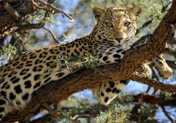 Фотообои Леопард (animals-0000451)