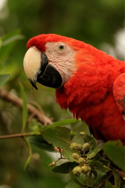 Фотообои красный ара на ветке (animals-0000479)