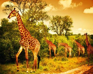 Фотообои стадо жирафов (animals-522)