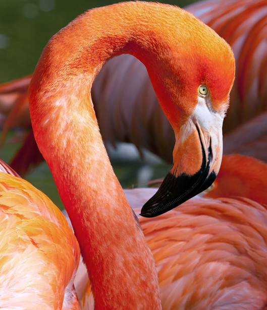 Фотообои Фламинго (animals-565)