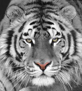 Фотообои Тигр (animals-586)