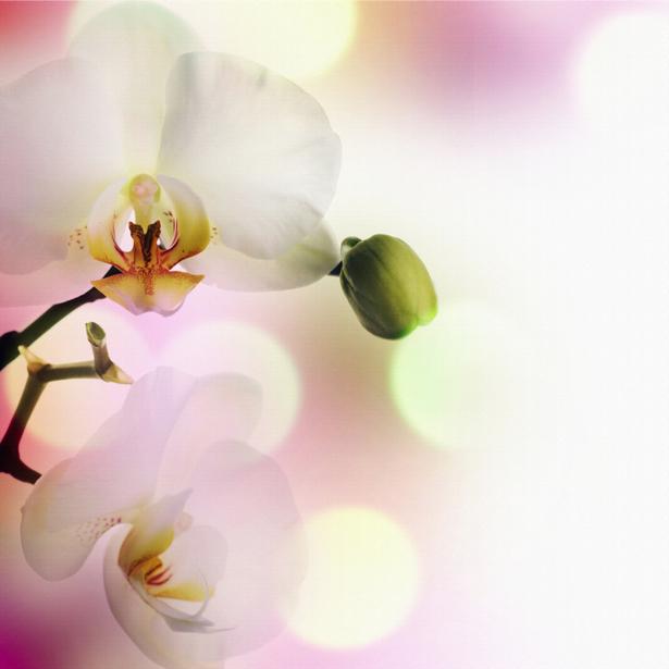 Белая орхидея Фотообои на стену цветы (flowers-0000046)