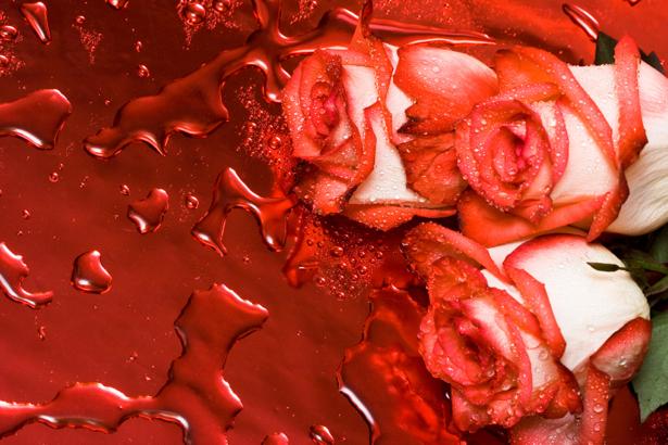 Алая, красная роза красивые цветы фото обои (flowers-0000082)